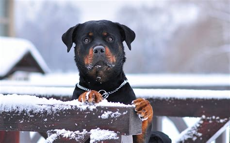 Rottweiler Full Hd Wallpaper And Background Image HD Wallpapers Download Free Images Wallpaper [1000image.com]