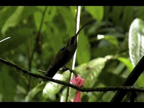hummingbirds fighting youtube