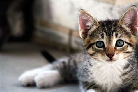 kitten vetsure pet