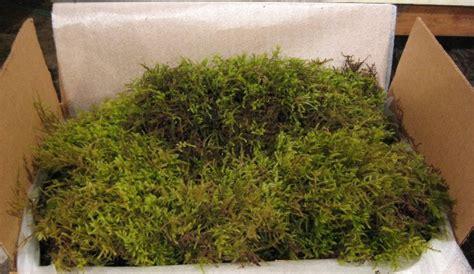 how to grow sheet moss a sheet moss fresh large case also called fresh shag moss