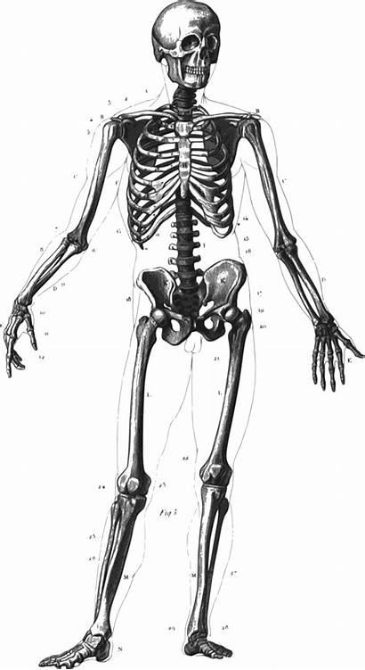Skeleton Halloween Clipart Transparent Webstockreview Transparentpng