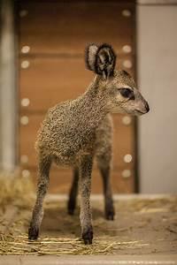 Lincoln Park Zoo Hand-raises a Wee Klipspringer - ZooBorns