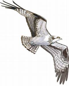 Drawing Hawks In Flight John Muir Laws