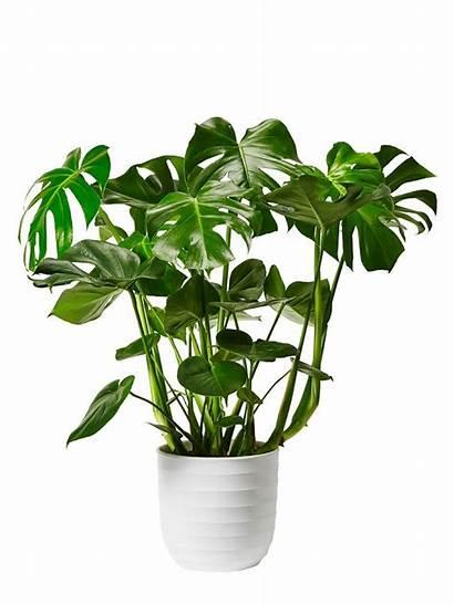 Monstera Plant Plants Living Interior Decorating