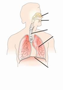 Unlabelled Respiratory System Clip Art At Clker Com