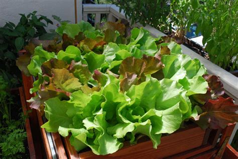 Container Gardening Vegetables, Selecting Vegetables For