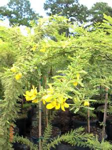 Desert Cassia Tree