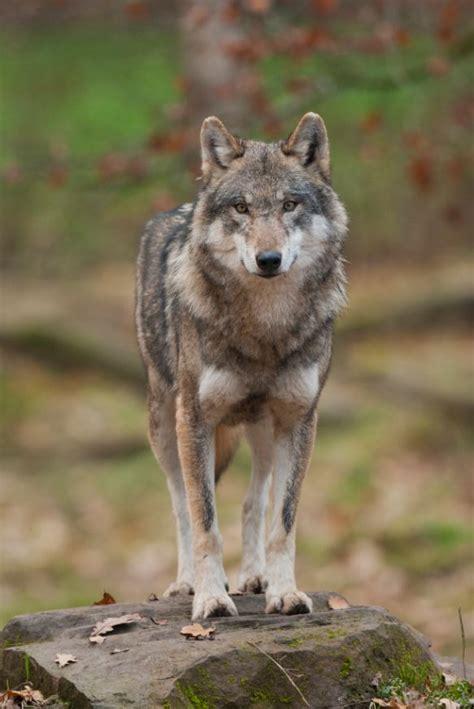 le loupe de bureau le loup coupable idéal ferus