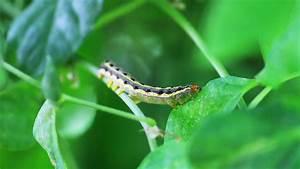 Caterpillar Video  Caterpillar Eating  Caterpillar Photos