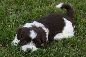 do havanese shed bunkblog