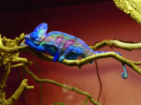 chameleons changing colors chameleon changing colo hd wallpaper background images
