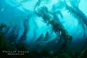 California Forest Giant Kelp