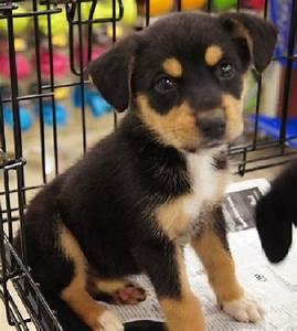 german shepherd beagle mix puppies for sale | Zoe Fans ...