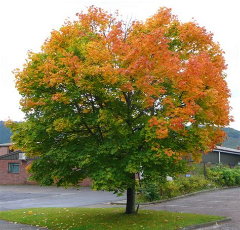 types maple trees types of maple trees best trees to plant