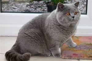 Las razas de gatos más grandes del mundo