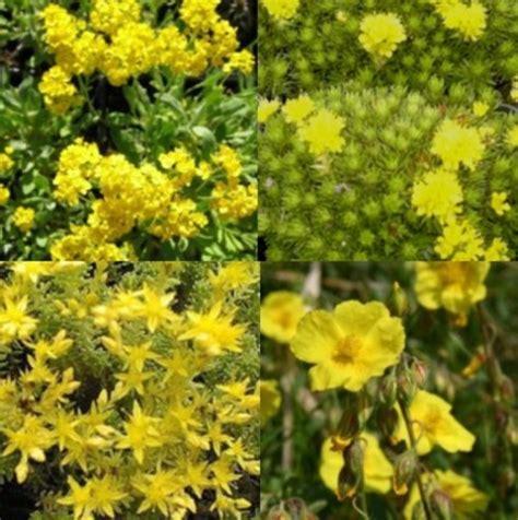 bodendecker gelb blühend 14 stk steingarten bodendecker stauden pflanzen in gelb