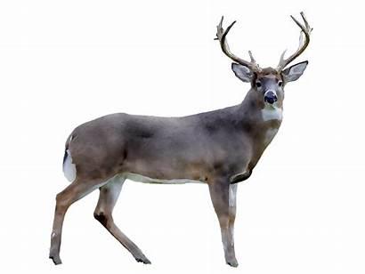 Reindeer Deer Tailed Clipart Freepngclipart