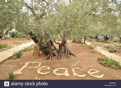 Der Garten Gethsemane by Der Garten Gethsemane Frieden Olivenbaum Jerusalem