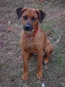black mouth cur photo re are my dogs black mouth curs