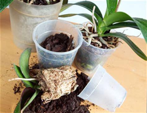 tailler une orchidee en pot fiche de culture de l orchid 233 e dendrobium nobile les cr 233 ations d am 233 lie