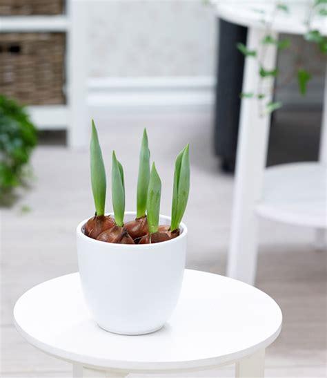Tulpen Im Topf In Der Wohnung by Gef 252 Llte Tulpe Im Topf Orange 1a Zimmerpflanzen