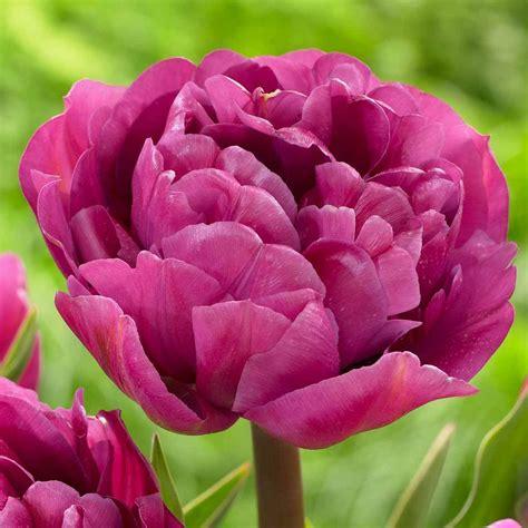 tulip backpacker longfield gardens
