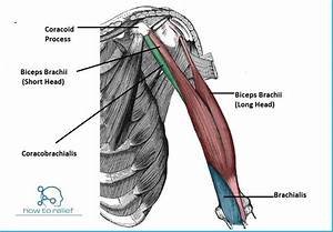 Arm Muscle: Origin, Insertion, Nerve supply & Action » How ...