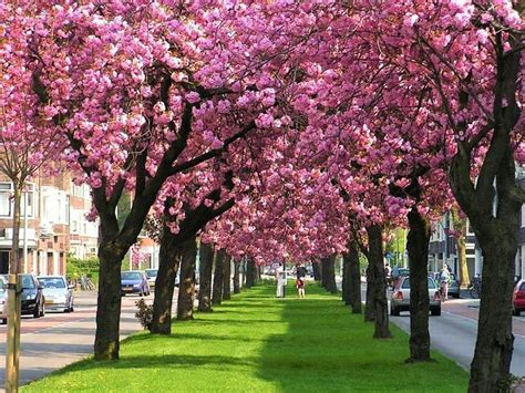 cerejeira japonesa sakura yukiwari ornamental de flores