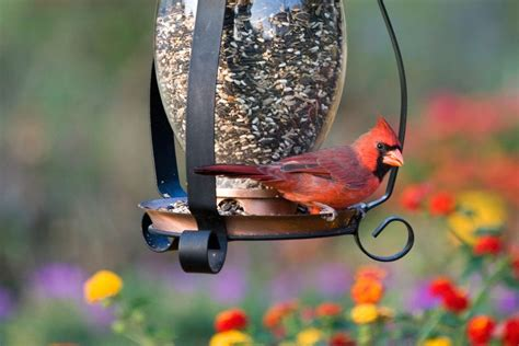 cardinal bird feeder benefits of attracting birds to your backyard