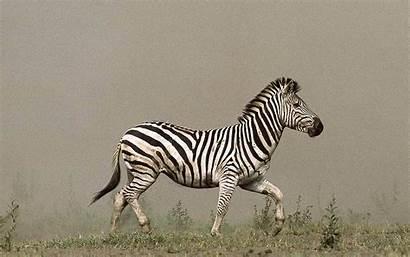 Zebra Wallpapers Zebras Turtle Shell Daftar Tags