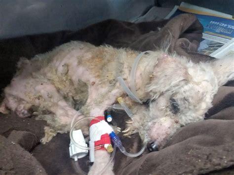 dog walker finds poodle tied  tree  worst case