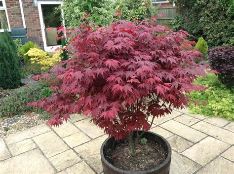 acer palmatum atropurpureum japanese maple hydrangea shrubs trees bushes