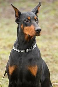 Doberman Pinscher | Dog Breed Gallery