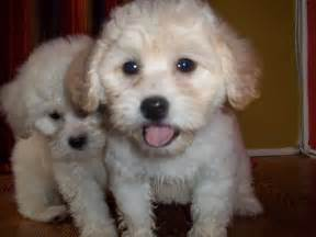 lhasa poo lhasa apso poodle mix info temperament