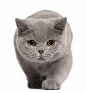 Blue Russian cat | Things I love | Pinterest | Beautiful ...