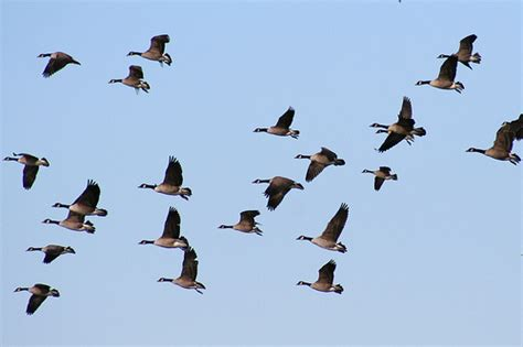 canada geese migrating south flickr photo sharing