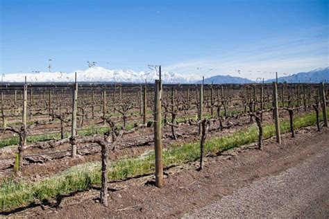 trim grape vines winter how to tips for pruning grapevines modern farmer