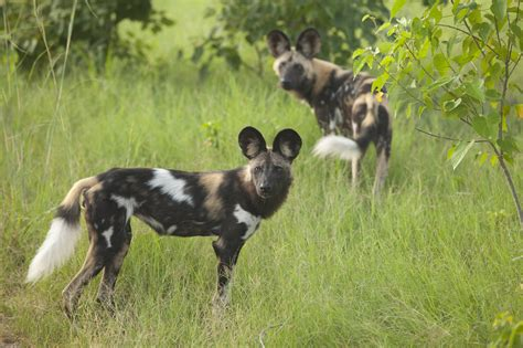 ten facts   african wild dog