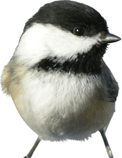 black capped chickadee  pet productsd pet products
