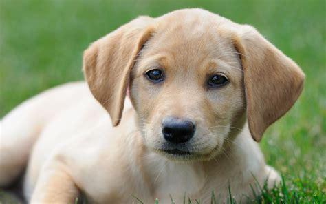 america s favorite dog breeds labrador retrievers top the