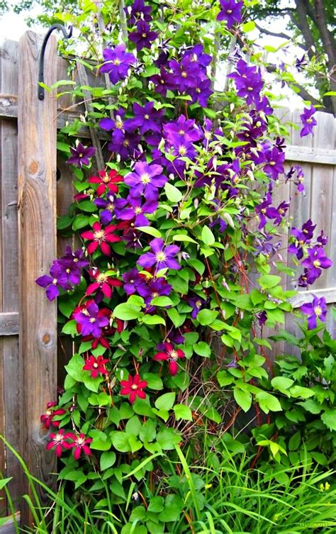 Clematis Trellis by Clematis Combined With Other Flowers D Oh I Y