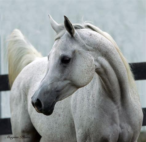 arabian horse horses head breed heads characteristics arab breeders structure most weneedfun profile ones fucking dog american neck july coast