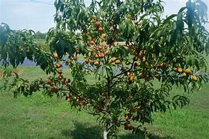 Reliance Peach Tree Production Two Years After Planting ...