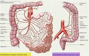Mesenteric Artery Anatomy  Function  Branches  U0026 Mesenteric