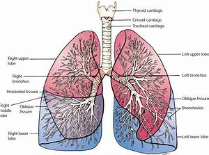 11  Human Lungs Structure  21