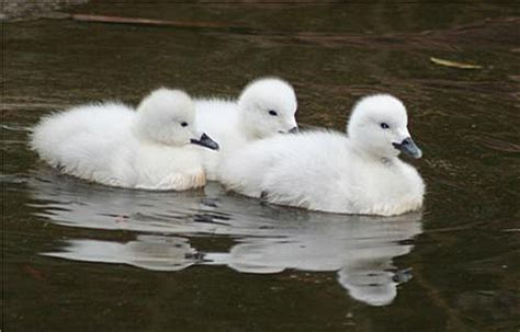 """Baby Swans Not The """"ugly Ducklings"""" You Might Expect"""