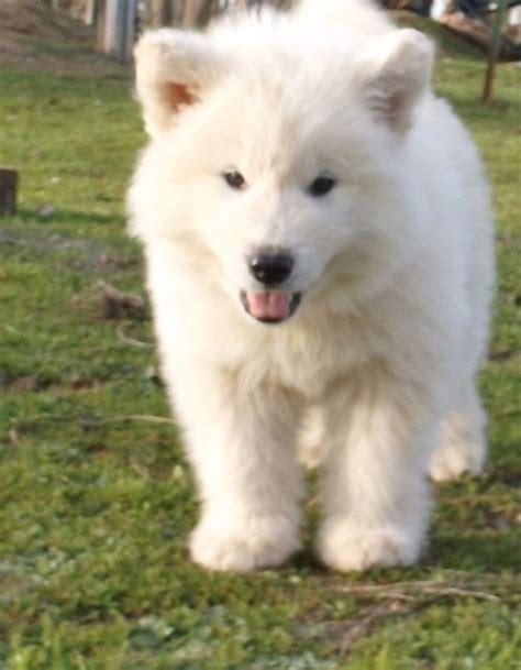 White Alaskan Malamute   Pure White Alaskan Malamute ...