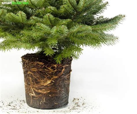 Weihnachtsbaum Im Topf Tipps Fuer Kauf Sorten Und Pflege by Lebender Weihnachtsbaum Im Topf Pflegeanleitung