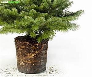 Tannenbaum Im Topf : weihnachtsbaum topf balkon europ ische weihnachtstraditionen ~ Frokenaadalensverden.com Haus und Dekorationen