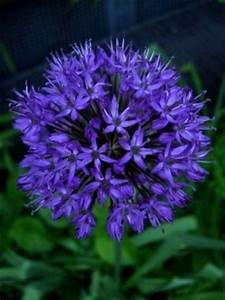Aglio Allium Bulbi Coltivare l'aglio
